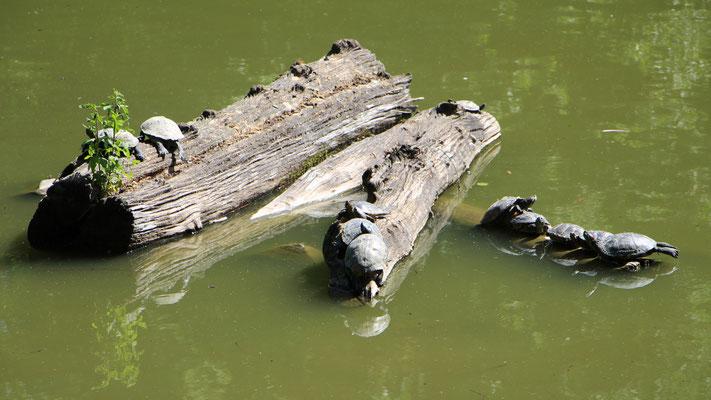 Schildkröten auf Stämmen im Palmengarten Frankfurt