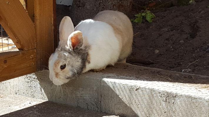 Unser Kaninchen Max guckt aus dem Hasenstall