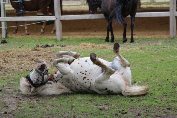 Die Ponys während ihrer Mittagspause auf der Weide: eines suhlt sich auf dem Rücken