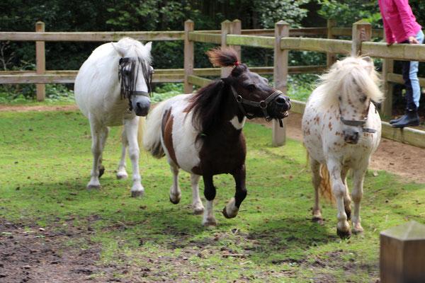 Die Ponys während ihrer Mittagspause auf der Weide: die Ponys jagen sich über die Weide
