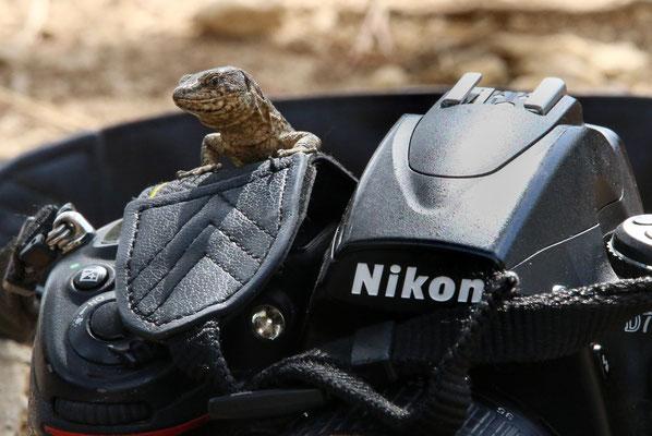 Bild 6 - Eidechse trifft Nikon