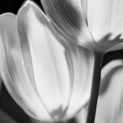 Bild 6: Tulpe in Gesellschaft