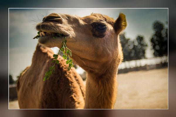 Bild 5 - Kamel