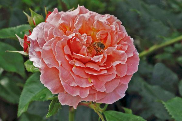 Bild 7 - Summsemann und Blume