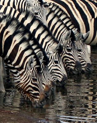 Bild 9 - Zebras