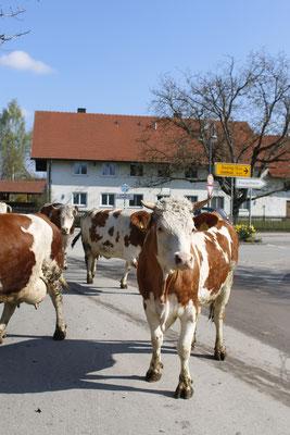 Kühe auf der Weßlingerstraße