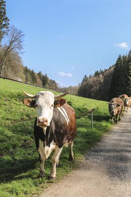 Kühe im Krontal