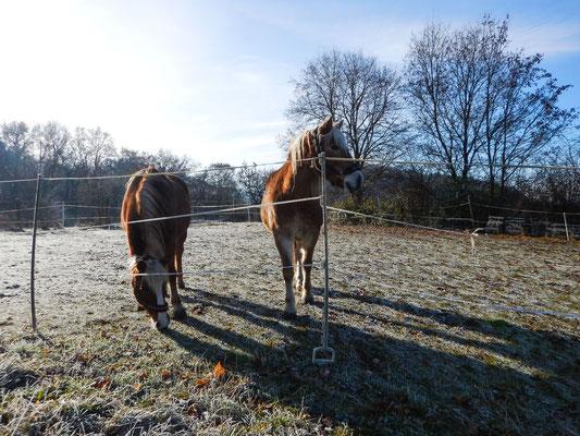 Unsere Haflinger im Winter