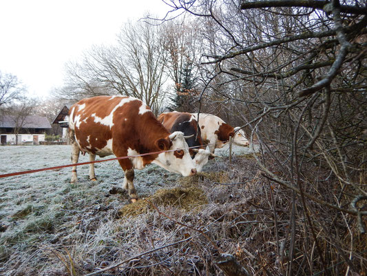 Kühe im Winter auf der Weide