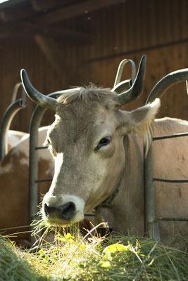 Kuh im Futterstall