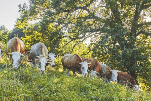 Kühe weiden