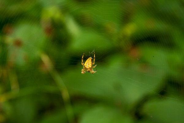 Kreuzspinnen gibt es zu Hauf