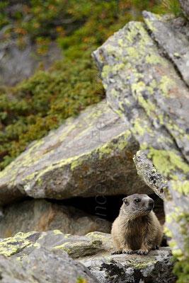 Trentino Alto Adige - Marmotta
