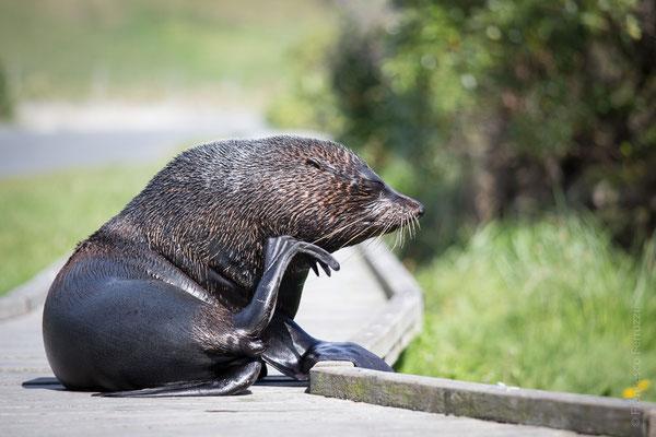 Otaria Orsina - Kaikoura - New Zealand - Nuova Zelanda