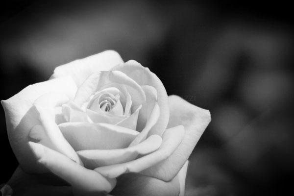 La rosa - Roseto Comunale di Roma
