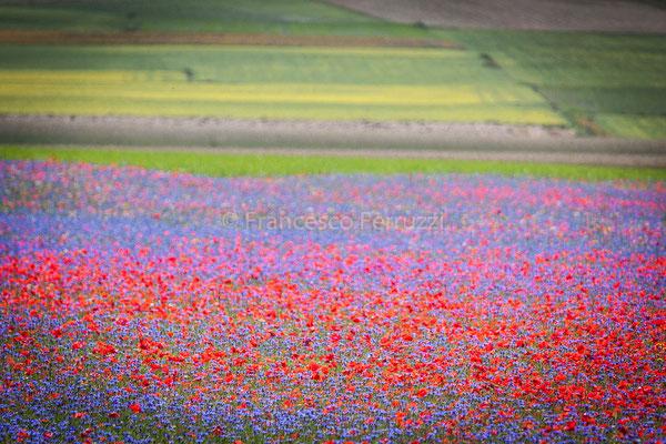 Castelluccio di Norcia - la fioritura