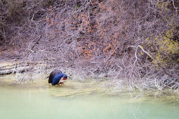 """Il """"pollo sultano blu"""" che si incontra spesso in Nuova Zelanda [Porphyrio porphyrio]"""