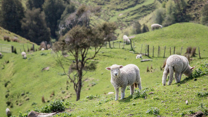 Sono milioni i capi di bestiame (soprattutto ovini e bovini) che si incontrano in Nuova Zelanda