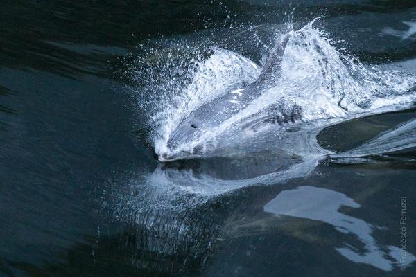 Delfino nel Milford Sound - Fiorland National Park - New Zealand - Nuova Zelanda