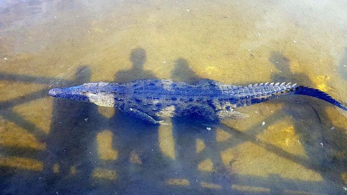 Krokodile auf Cozumel