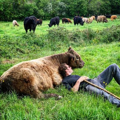 Grégoire allongé avec un boeuf à la ferme biologique de la Millanchère