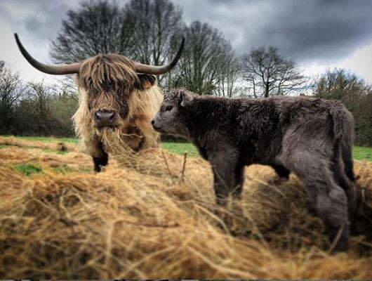 vache et veau mangeant du foin à la ferme biologique de la Millanchère