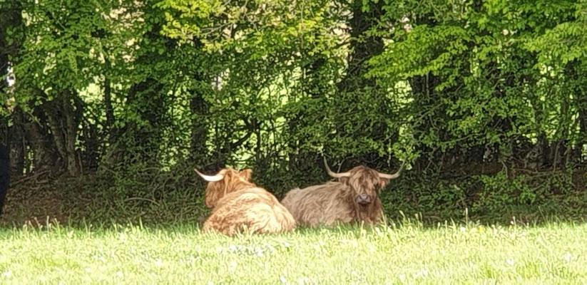 deux vaches highland cattle allongées à la ferme de la Millanchère