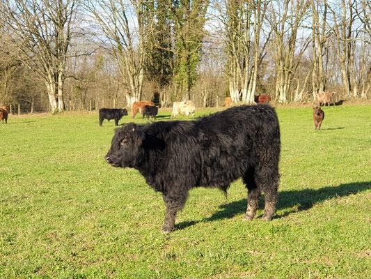 boeuf black angus  parmis troupeau de la ferme bio de la Millanchère