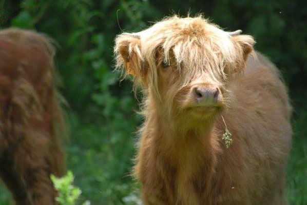 veau highland cattle et son brin d'herbe, ferme de la Millanchère