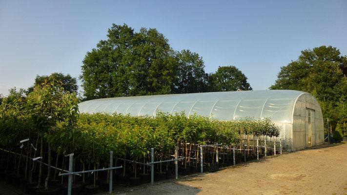 Obst im Topf C10 Busch und Halbstamm   www.funke-pflanzen.de