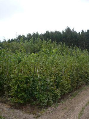Hainbuchenheckenpflanzen 2xv 150/175 mB