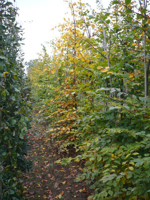 Carpinus betulus  3xv mB Heckenpflanzen