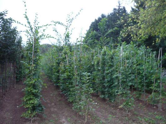 Rotbuchen (Fagus sylvatica) 3xv mB 175/200