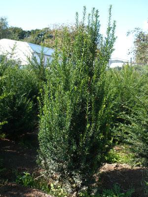 Eibe Heckenpflanzen 60-70 cm 2xv mB