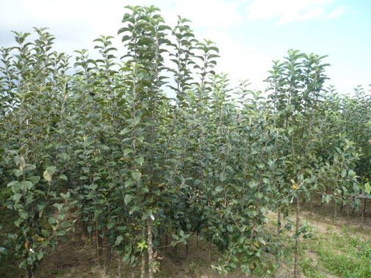 Apfelbäume  Busch und Halbstamm     www.funke-pflanzen.de