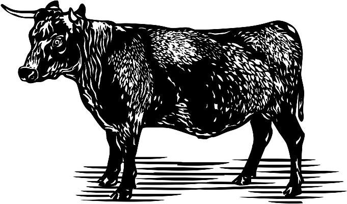 Illustrationen Doris Maria Weigl / Tiere / Rind
