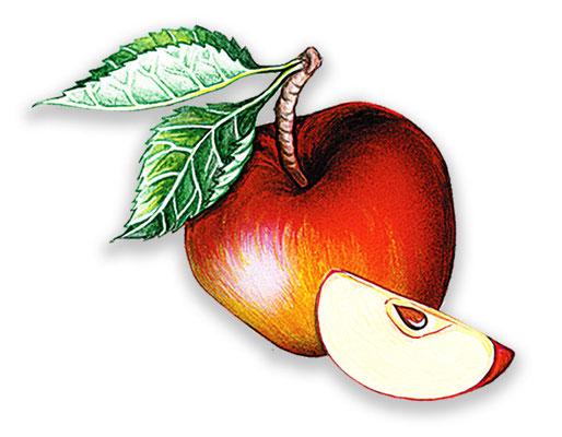 Apfel - Aquarell - Illustrationen Doris Maria Weigl / Menü