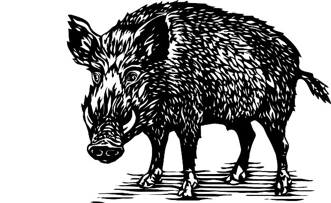 Illustrationen Doris Maria Weigl / Tiere / Wildschwein