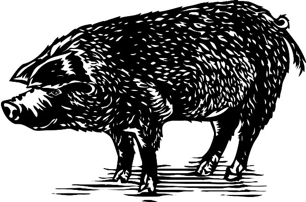 Illustrationen Doris Maria Weigl / Tiere / Schwein