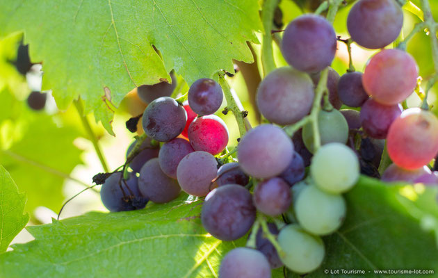 Lot vineyard