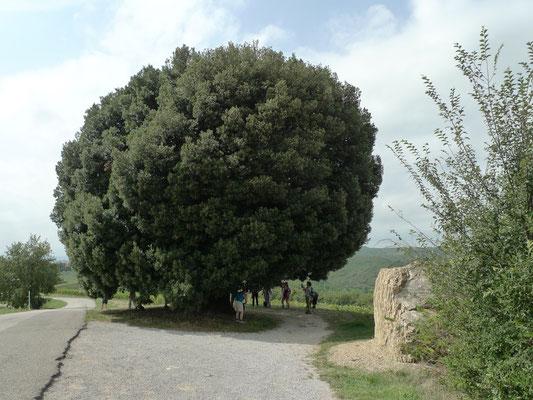 Die grosse Eiche bei Lucignano