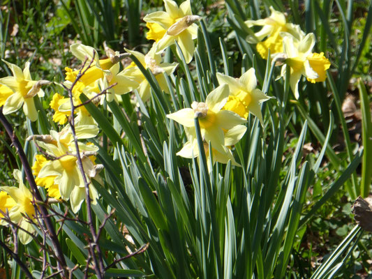 Osterglocken im optimalen Blütenstand