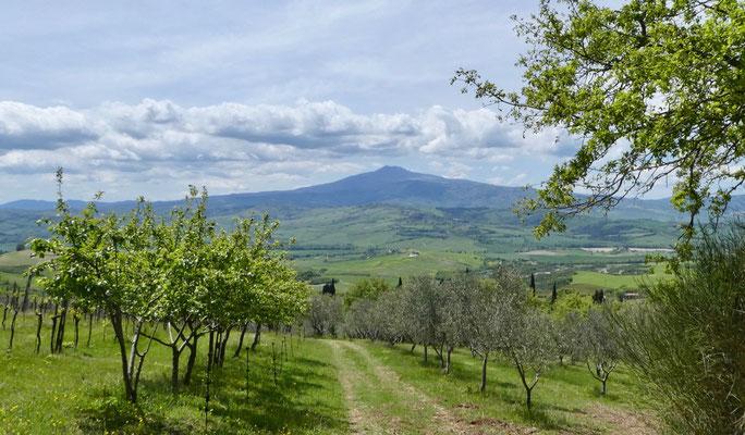 Links Wein, rechts Oliven und in der Mitte Monte Amiata