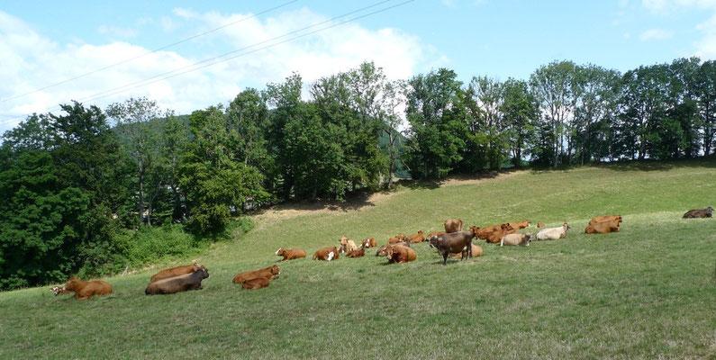 Friedliche Mutterkuh-Herde