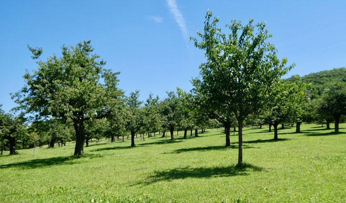 Kirschbaumplantage dieses Jahr ohne Kirschen
