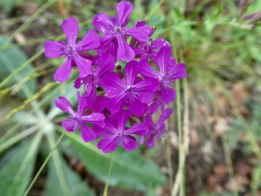 Ebenfalls schöne Blume, ?