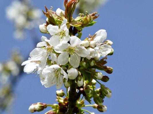 Die erste Kirschenblüte diesen Frühling