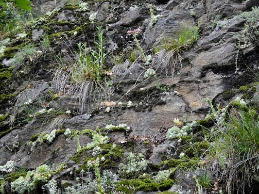 Ganze Felswand übersät mit Huaswurz
