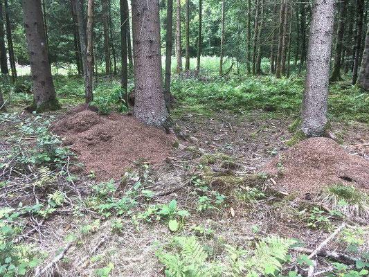 Nesthüge der Roten Waldameise (Formica rufa) in Rheinfelder Wald