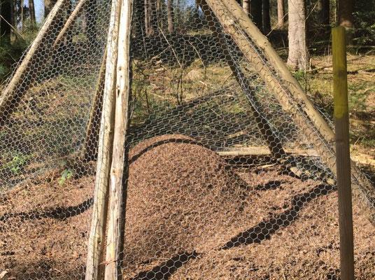 Nesthüge mit Schutzmassnahmen in Rheinfelden der Roten Waldameise (Formica rufa)
